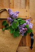 Freshly picked lilacs hanging in a wicker satchel poster