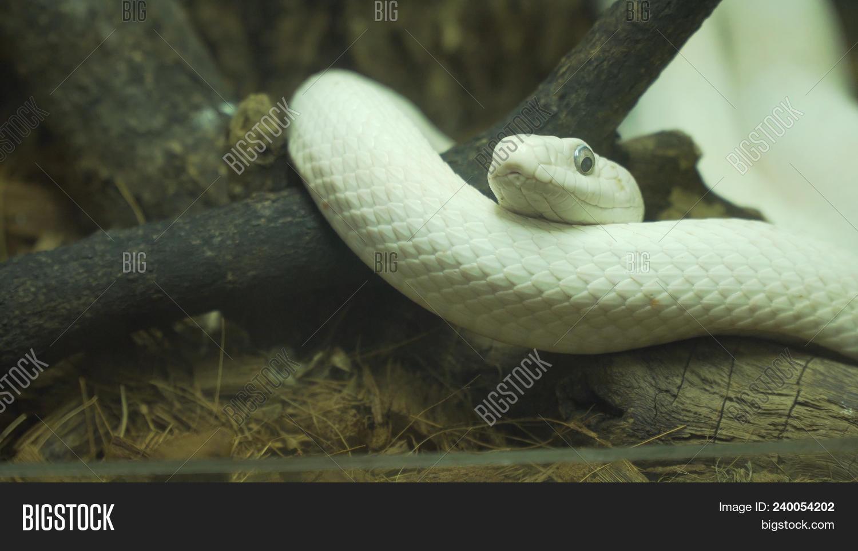 Texas Rat Snake On Image & Photo (Free Trial) | Bigstock
