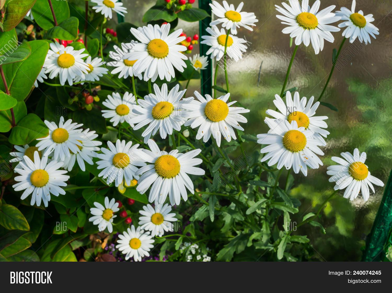 Ox Eye Daisy Flowers Bloom Garden Image Photo Bigstock
