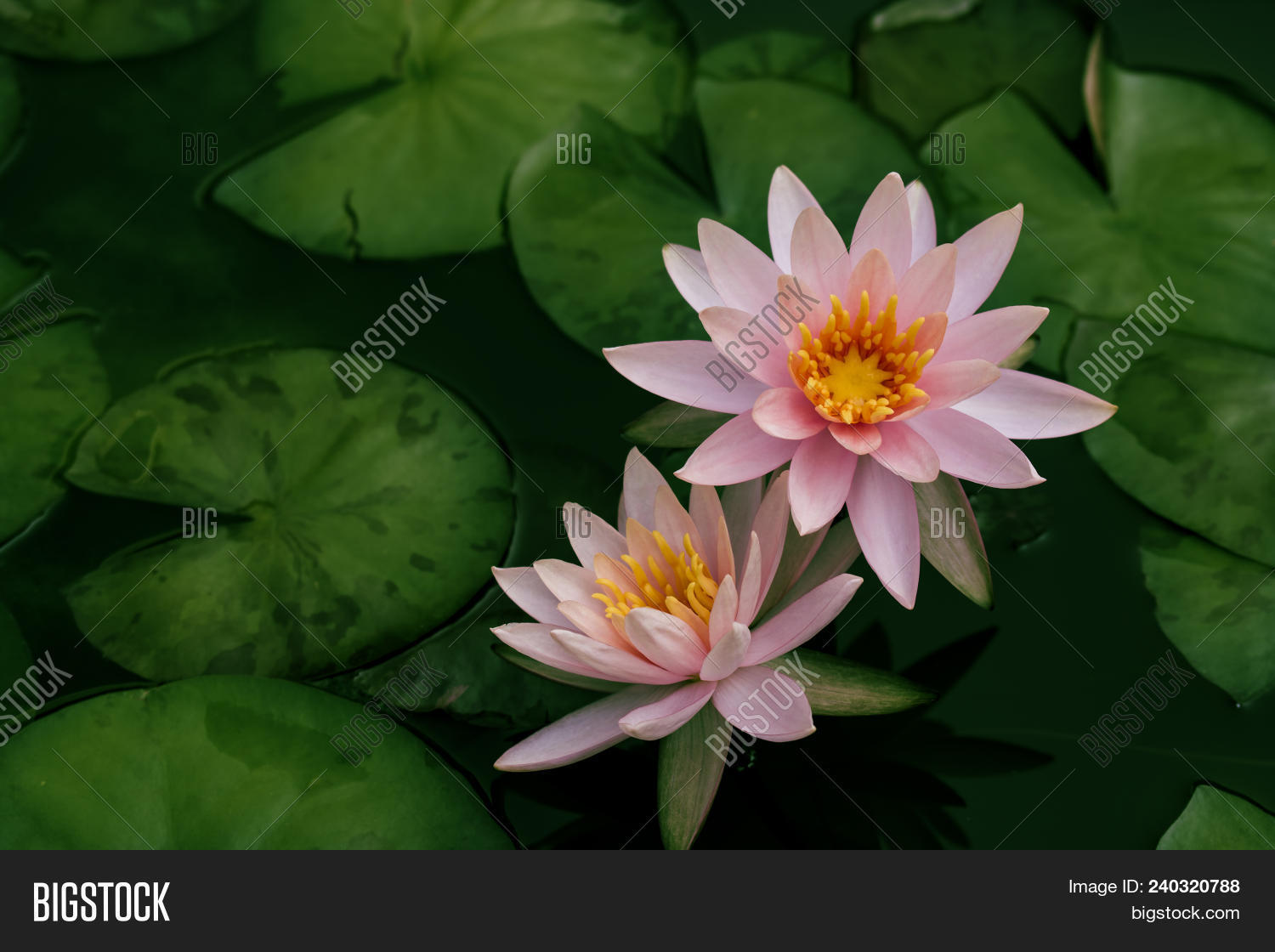 Beautiful lotus flower image photo free trial bigstock beautiful lotus flower or water lily in a pond with green leaves in the background izmirmasajfo