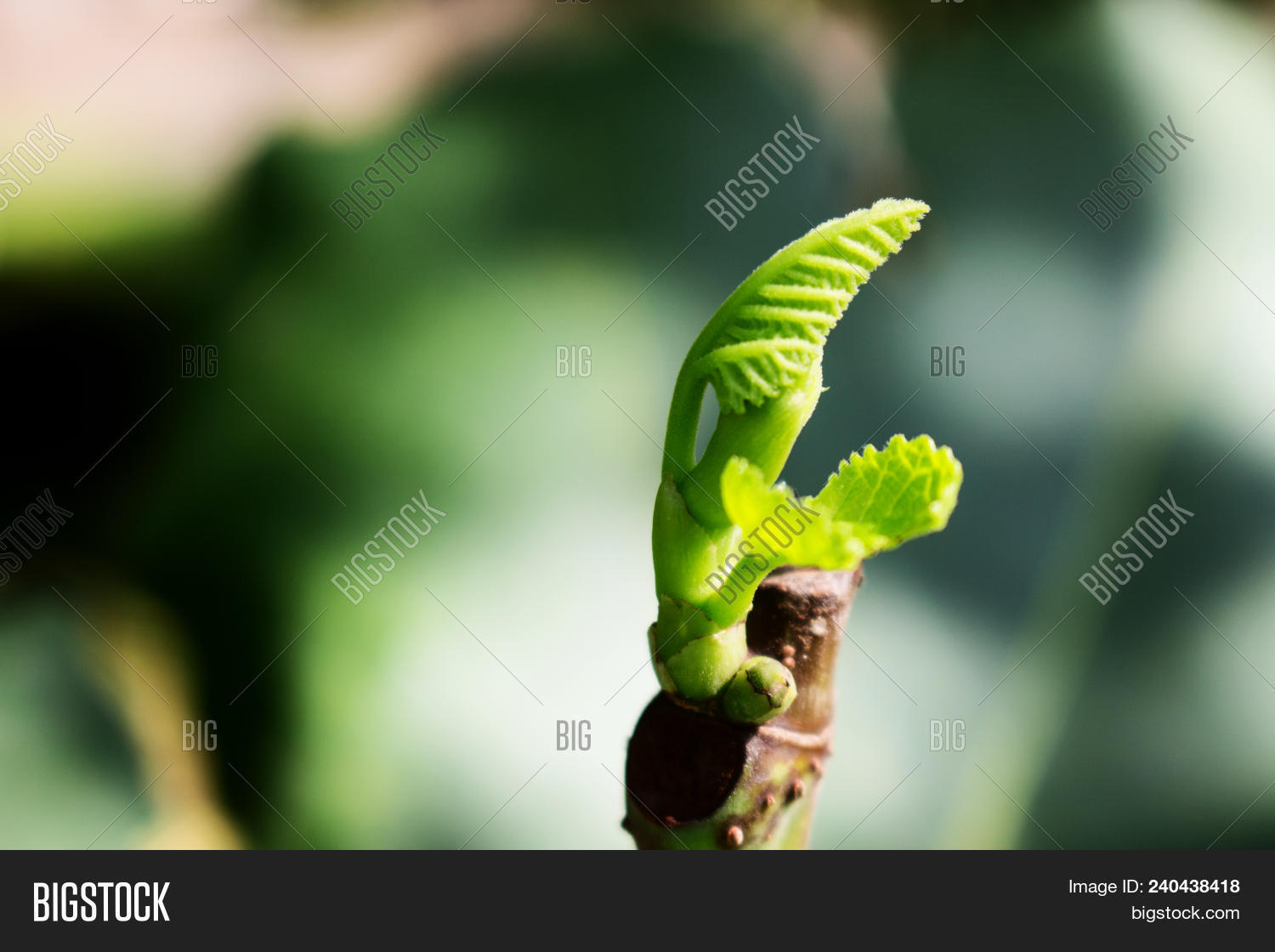 Thanks for Free young leafs pics have removed