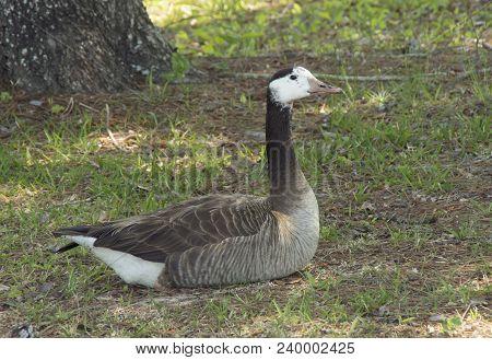 A Canada Goose Rests In A Park In Wilmington,north Carolina