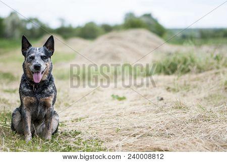 Portrait Of Australian Cattle Dog Sitting On The Road Near The Field.