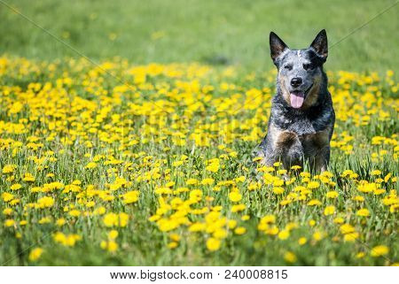 Summer Portrait Of Happy Australian Cattle Dog On Dandelions Meadow. Purebred Dog Posing Sitting Amo