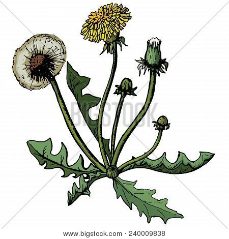Vector Illustration Demountable Dandelions With Leaves Flower Meadow. Summer Flower Natural Season B