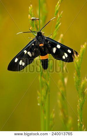 Tiger Moth (amata Kruegeri) Sitting On The Grass