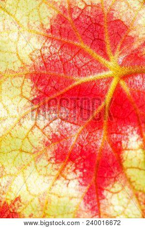 Close-up Of The Back Side Of Begonia Rex Leaf, Backlit Textured Background