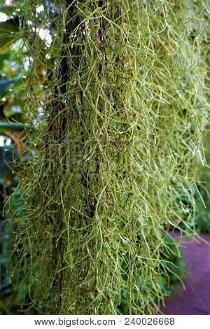 Curtain Of Wet Spanish Moss - Tillandis Usneoides - With Drops