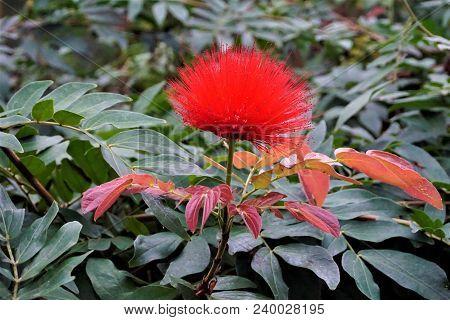 Red Powder Puff Flower In The Royal Botanic Garden Edinburgh, Scotland