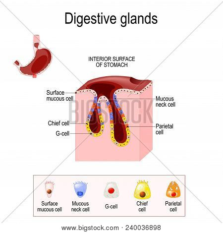 Gasric Glands. Structure Of A Digestive Epithelium. Gastric Glands Open Into The Base Gastric Pits A
