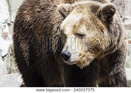 Brown Bear On The Background Of Gray Rocks, Sad Kind Of Animal