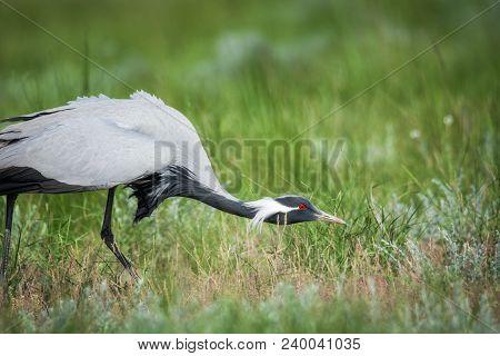 Demoiselle crane / Anthropoides virgo. Chyornye Zemli (Black Lands) Nature Reserve,  Kalmykia region