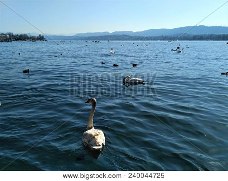 View Over Lake Zurich With Swans In The Sun