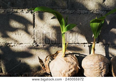 Fresh Palm Tree Sapling In Old Coconut. Coco Nut Seed. Tropical Coco Palm Growing From Seed. Exotic