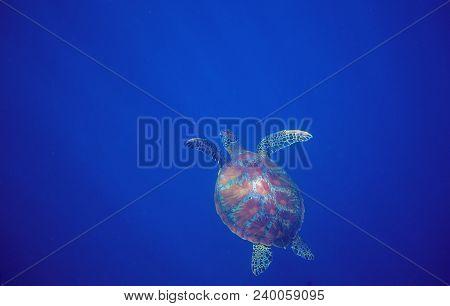 Sea Turtle In Deep Open Water. Green Sea Turtle Closeup. Wildlife Of Tropical Coral Reef. Tortoise U