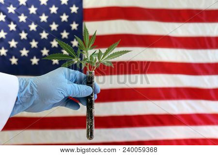Marijuana Plant in hands. A Scientist holds a marijuana plant Clone or Cutting in his hands with an American flag background.