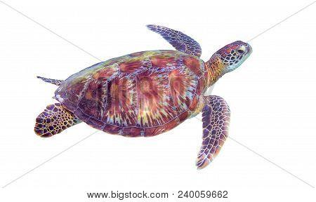 Sea Turtle On White Background. Marine Tortoise Isolated. Green Turtle Photo Clipart. Marine Animal