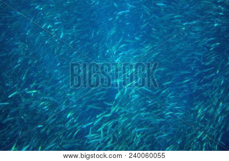 Sea Sardine School In Ocean. Massive Fish School Undersea Photo. Pelagic Fish School Swimming In Sea