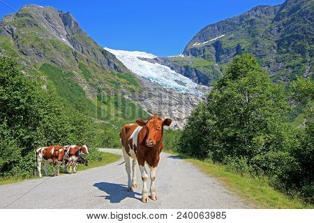 Brown Cows In Front Of Boyabreen Glacier, A Beautiful Arm Of The Large Jostedalsbreen Glacier, Norwa