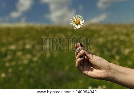 Chamomile Flower In Hand, Nature, Environment. Womens Day, Mothers Day, Beauty. Summer, Love, New Li