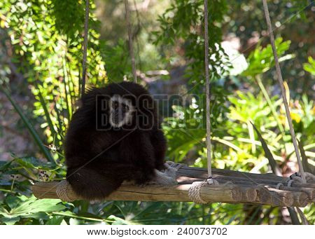 White Handed Gibbon Sitting On A Tree Swing. It Is An Endangered Primate In The Gibbon Family, Hylob