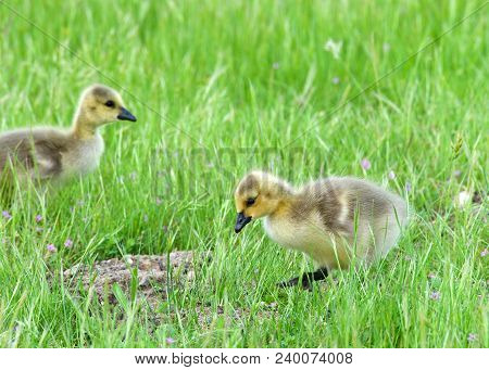 Canada Goose Goslings Eating In Green Grass. Canada Geese Frequently Establish Breeding Colonies In