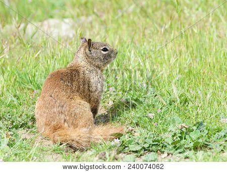 One Brown Ground Squirrel Sitting In Green Grass. California Ground Squirrels Are Often Regarded As