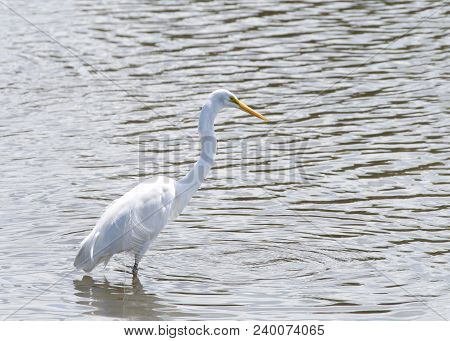 Great Egret Wading In Shallow Water. Also Known As The Common Egret Or Great White Egret. They Adapt