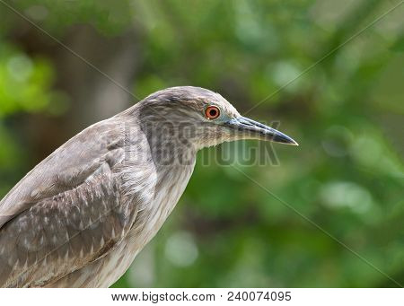 Portrait Of A Juvenile Black Crowned Night Heron. The Young Birds Have Orange Eyes And Duller Yellow