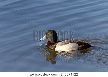 A Male Greater Scaup In Breeding Colors Swimming In A Lake. A Mid-sized Diving Duck, Greater Scaup N