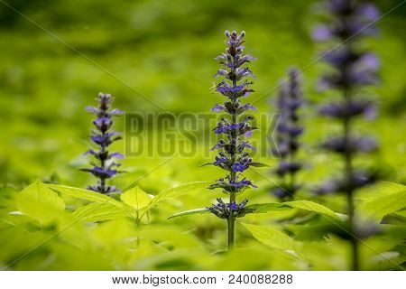 Close-up Shot Of Blue Ajuga Flowers Also Known As Bugleweed, Ground Pine, Carpet Bugle, Or Just Bugl