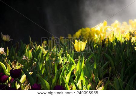 Sunlit Yellow Tulip Flowers With Sun Light Shine To Tulips Garden, Low Key Of Floral Scene