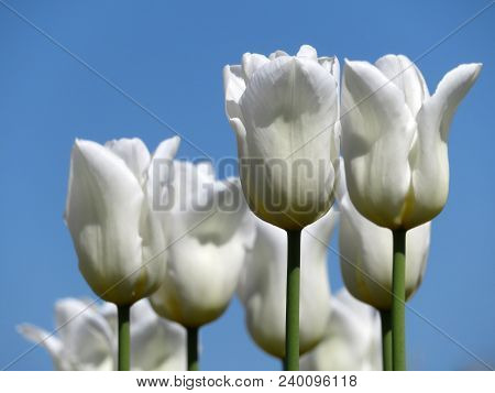 White tulips on blue sky background. Symbol of purity poster