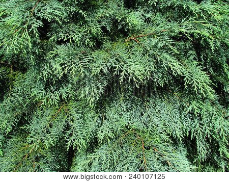 Thuja Occidentalis Closeup, Natural Texture Branch And Needle, Detail Of Tree