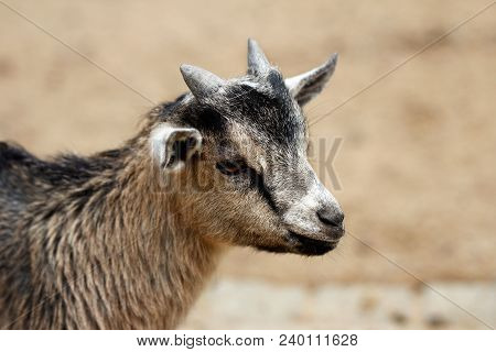 Portrait Of African Pygmy Goat Kid. Photography Of Nature.