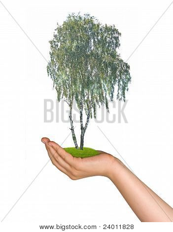 Birch Tree In Palm As A Symbol Of Nature Protection