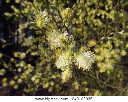 Salix Caprea Blossom Close-up, Macro Photo Seasonal, April, Pollen Grains For Inflorescence