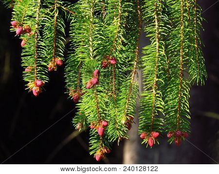 Needle Spruce With Red Growing Buds, Detail Of Spring Nature, Tree Vitality, Natural Texture In Vivi