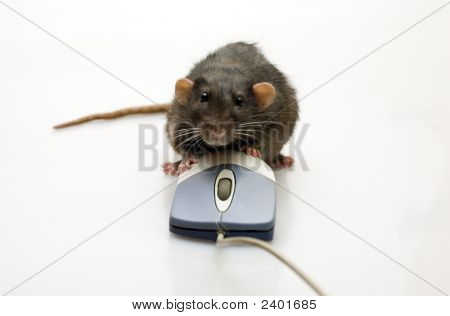 Rat And A Mouse