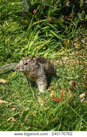 Coastal Ground Squirrel In The Grass In Pacific Northwest In Spring