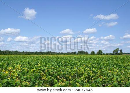 Soybean Fields in Late Summer