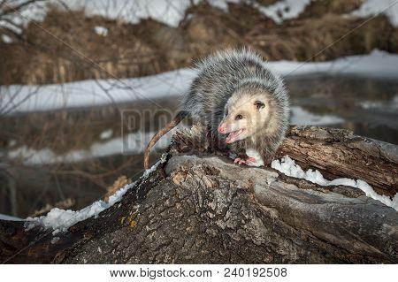 Opossum (didelphimorphia) Turns Hissing - Captive Animal