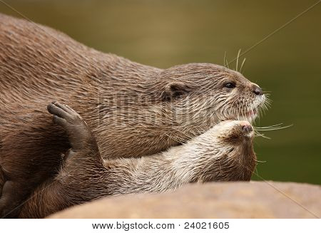 A pair of Oriental Short Clawed Otters cuddling poster