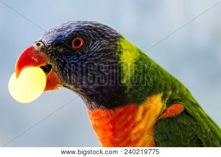 Rainbow Lorikeet (trichoglossus Moluccanus) With A Grape In His Beak
