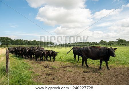 Black Angus Cattle In A Dutch Meadow. The Aberdeen Angus, Sometimes Simply Angus, Is A Scottish Bree