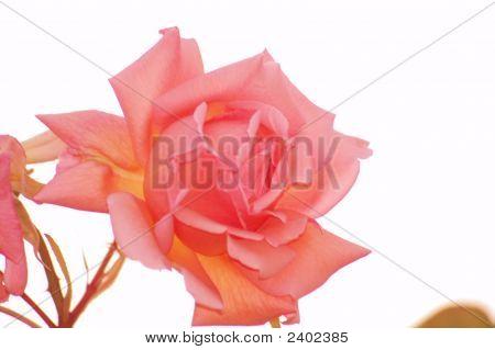 Schoolgirl Rose