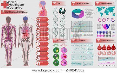 Medical Infographic Set. Human Anatomy, Body With Internal Organs. Illustration Of Heart Scan, Human