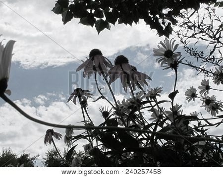 De Saturated Wild Mountain Daisies With Backdrop Of Sky And Clouds