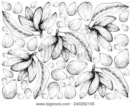 Tropical Fruit, Illustration Wall-paper Of Hand Drawn Sketch Banana De Macaco, Porcelia Macrocarpa A
