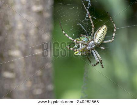 European Garden Spider, Araneus Diadematus,araneus Close-up Sits On A Cobweb